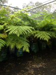 Cyathea brownii Tree fern