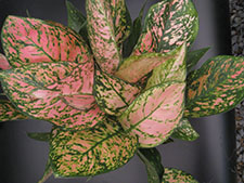 Aglaonema sp. Lady Valentine