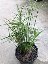 Cyperus alternifolius Dwarf Umbrella Grass