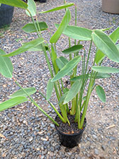 Thalia dealbata  Blue dwarf