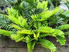 Palms for brisbane zamia furfuracea for Planta ornamental zamia